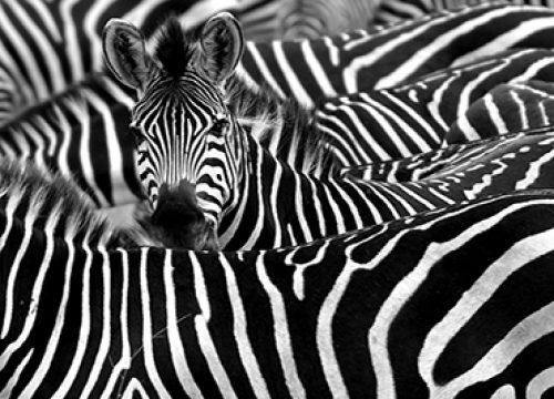175882628 תמונת זברות בטבע שחור לבן