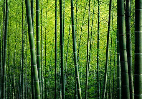 335442869 תמונה טפט עצי במבוק ביער